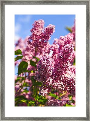 Lilacs Framed Print by Elena Elisseeva