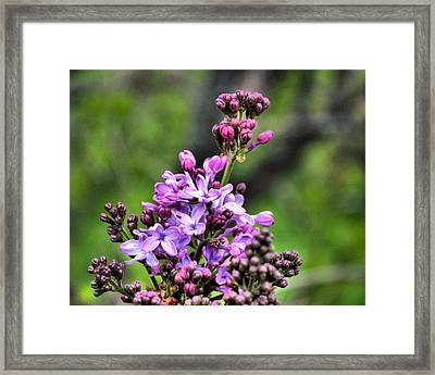 Lilacs Framed Print by Tim Buisman