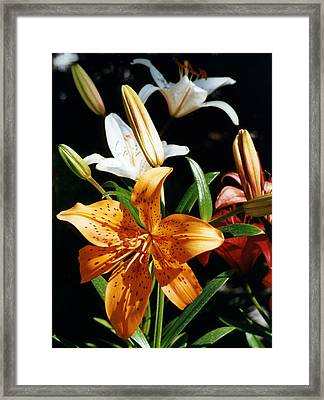 Lilies Assorted Colors Framed Print by Robert Lozen