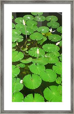 Lilies In The Pond Framed Print by Jack Edson Adams