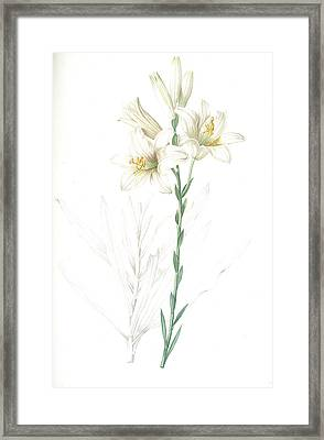 Lilium Candidum, Lis Blanc Maddona Lily Framed Print