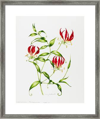 Lilium Rothschildiana Framed Print by Sally Crosthwaite