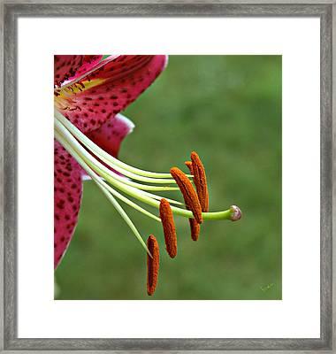 Lilium Stamens Framed Print by Bruce Carpenter