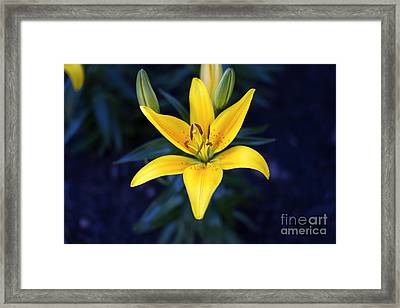 Lillies At Dusk Framed Print by Thanh Tran