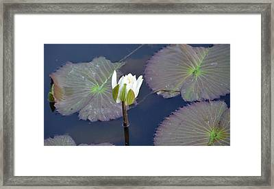 Lilly Blossom Framed Print by Julie Cameron