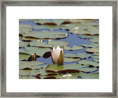 Lilly Pad With Bloom Framed Print by Daralyn Spivey
