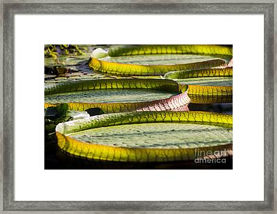 Lilly Pads Framed Print by John Wadleigh