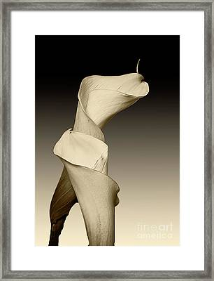 Lillys In Sepia Gradient Framed Print