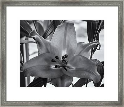 Lily 16 Framed Print by Mark Myhaver