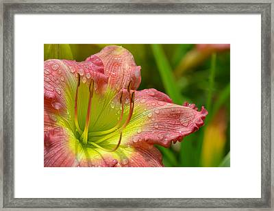 Lily After The Rain Framed Print