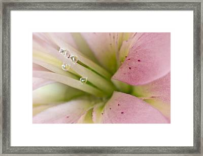 Lily And Raindrops Framed Print