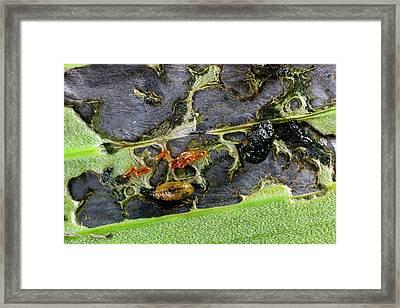 Lily Beetle Larvae On A Lily Leaf Framed Print by Dr Jeremy Burgess