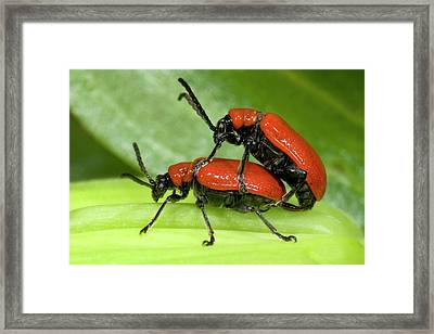 Lily Beetles Mating Framed Print by Nigel Downer