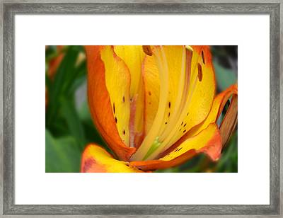 Lily - Close Up Framed Print