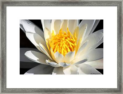 Lily Flower Framed Print by Marty Gayler