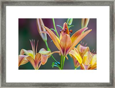 Lily From The Garden Framed Print