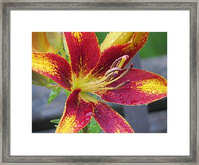 Lily In My Patio Framed Print by Sonali Gangane