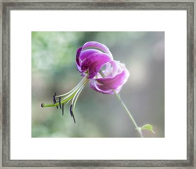 Lily In The Mist Framed Print by Jill Balsam