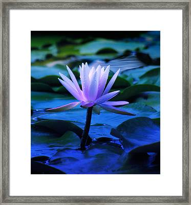 Lily Framed Print by Julian Cook