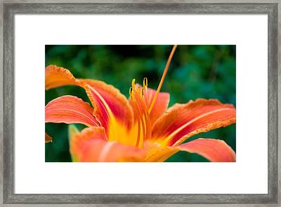 Lily Lies Framed Print