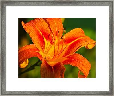 Framed Print featuring the photograph Lily by Linda Segerson