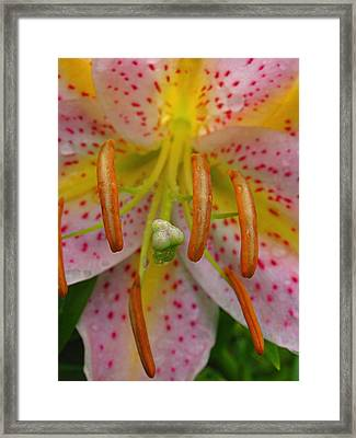 Lily Macro Framed Print by Juergen Roth