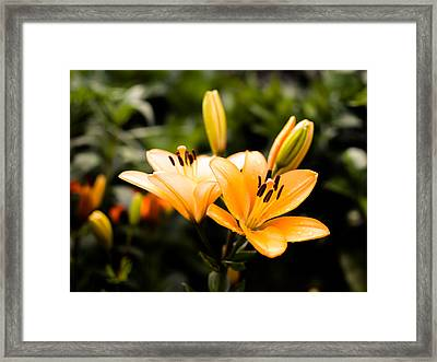 Lily Framed Print by Marco Oliveira