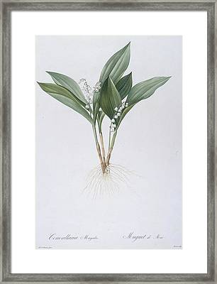 Lily Of The Valley Framed Print by Pierre Joseph Redoute