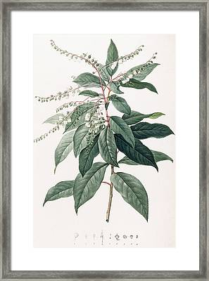 Lily Of The Valley Tree Framed Print by Pierre Joseph Redoute