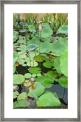 Lily Pad Framed Print by Jack Edson Adams