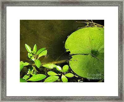 Lily Pad Framed Print by Robyn King