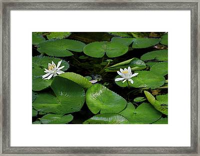 Lily Pads And Blossoms Framed Print by Rich Franco