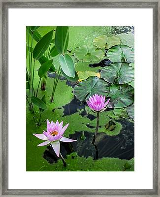 Lily Pads And Flowers Framed Print by Dawn Romine