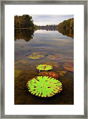 Lily Pads Decay In Fall Framed Print by Steven Llorca