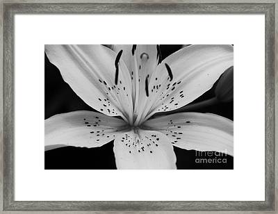 Lily Framed Print by Paul Cammarata