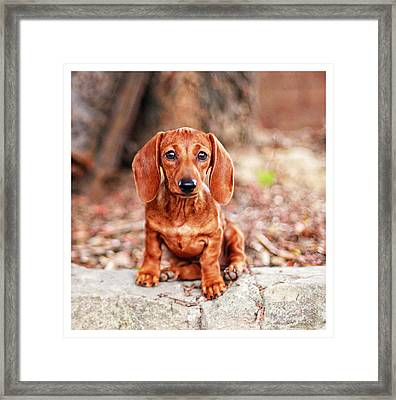 Lily Puppy  Framed Print