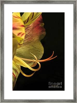 Lily Stamens Framed Print by Karen Slagle