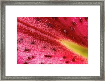 Lily 'star Gazer' Petal Abstract Framed Print