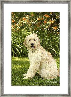 Lily The Goldendoodle With Daylilies Framed Print by Anna Lisa Yoder