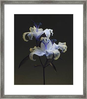 Lily Variation #03 Framed Print