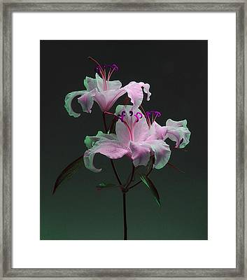 Framed Print featuring the photograph Lily Variation #04 by Richard Wiggins