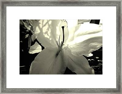Lily White Framed Print