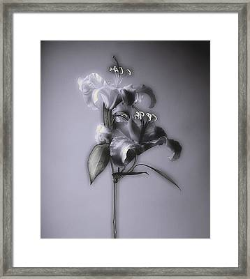 Framed Print featuring the photograph Lily_variation#5 by Richard Wiggins