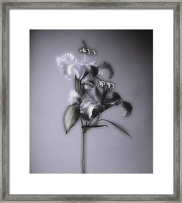 Lily_variation#5 Framed Print