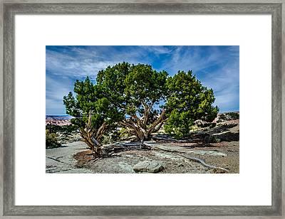 Limber Pine Framed Print