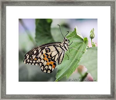 Lime Butterfly Framed Print by Marie  Cardona