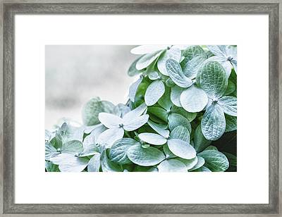 Framed Print featuring the photograph Limelight Hydrangea by Cathy Donohoue