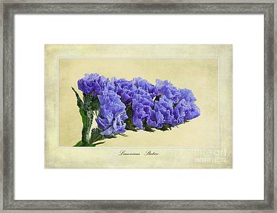 Limonium Framed Print by John Edwards