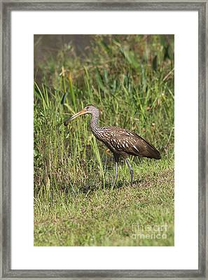 Limpkin With Apple Snail Framed Print by Christiane Schulze Art And Photography