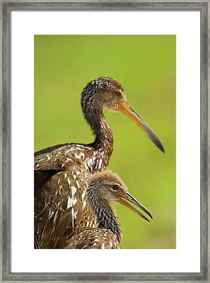 Limpkin With Chick, Aramus Guarana Framed Print by Maresa Pryor